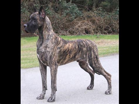 great dane puppies washington teulu s great danes breeders port ludlow wa