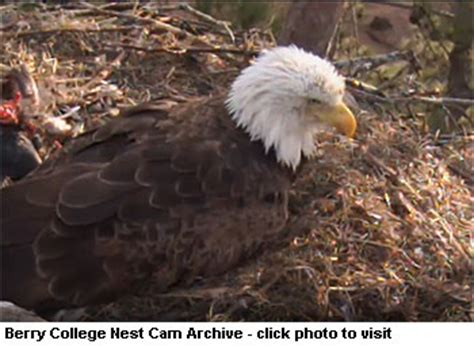 berry college eagle live eagle to document brood at the landings waterway