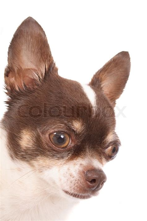 brown chihuahua puppies 50 most wonderful brown chihuahua pictures and images
