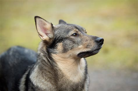 swedish breeds swedish vallhund breed information pictures characteristics facts