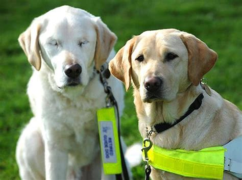 how to seeing eye dogs what happens when a seeing eye goes blind