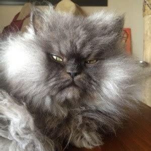 gatti persiani normotipo come curare il pelo di un gatto persiano arrangiamoci