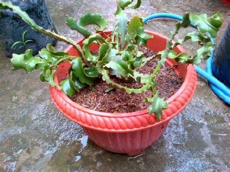 Bibit Buah Naga Mini tanaman buah buahan buah naga mini jarang ada