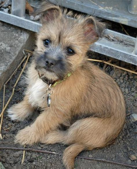 cairn terrier mix puppies terrier mix puppies www imgkid the image kid has it