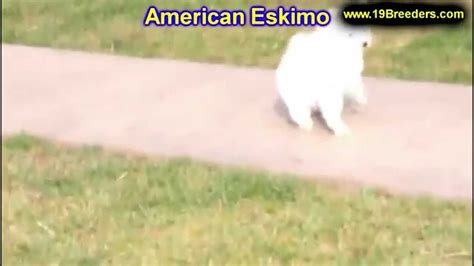 puppies for sale in great falls montana american eskimo puppies for sale in billings montana mt missoula great falls