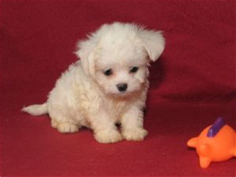 havanese puppies for sale in columbus ohio havanese puppies for sale