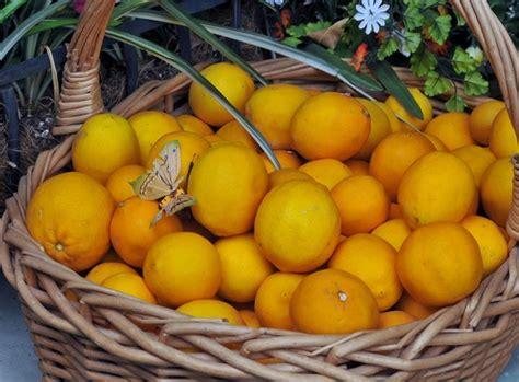 potatura in vaso potatura limone potatura potare limone