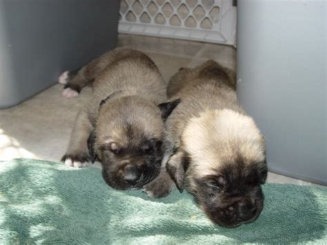 weaning puppies at 5 weeks mastiff puppies