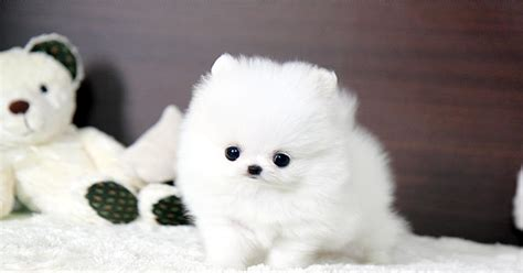 teacup pomeranian for sale sydney cutest teacup pomeranian puppies for adoption for sale nsw sydney