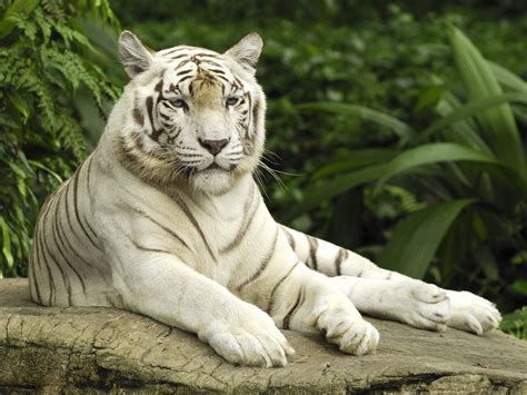 White Tiger L by Baby Bengal Tiger