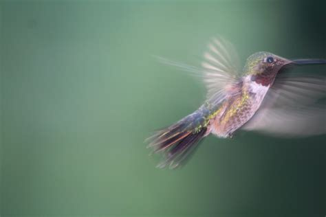 In Motion file in motion broad tailed hummingbird selasphorus