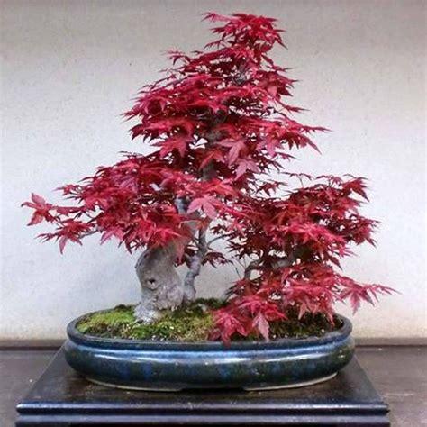 american maple tree uk american maple bonsai tree 20 fresh viable seeds pot plants decor ebay
