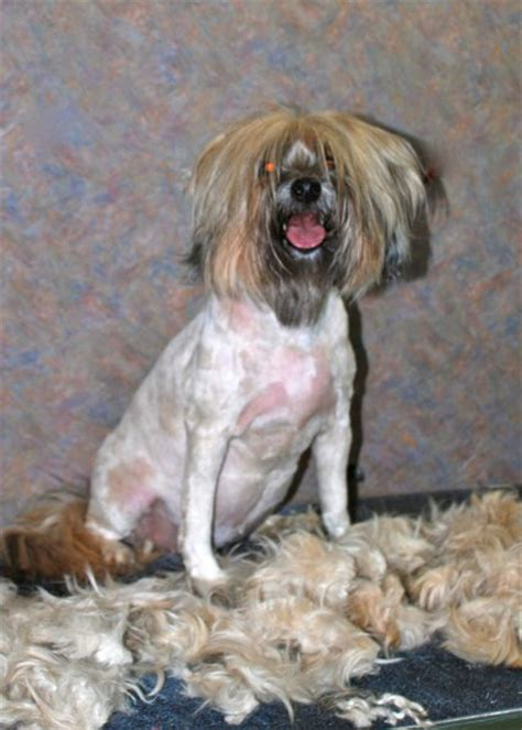 hair cuts for the tebelan terrier tibetan terrier grooming tips images