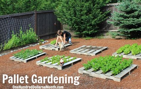 wood pallet garden planting dried beans