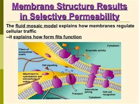 membrane structures  functions