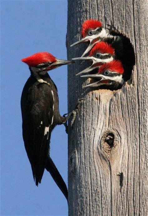 pileated woodpecker life list pinterest