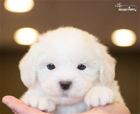 dreamy puppies cockachon puppies buy a cockachon puppy from dreamy puppy available only at