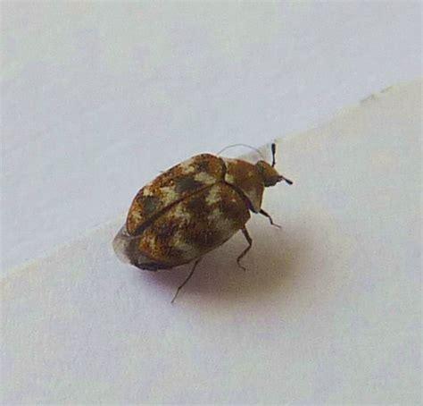 Carpet Beatle by Varied Carpet Beetle Anthrenus Verbasci Flickr Photo