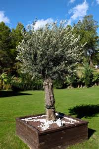 olivier planter et tailler ooreka