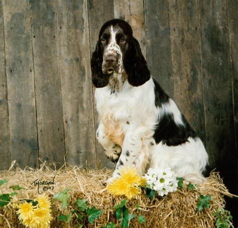 Springer Spaniel Shedding by Pomsky Puppies Shed Hair Pomsky Picture Breeds Picture