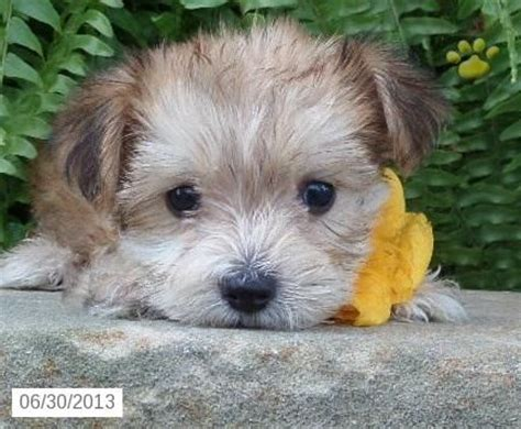 morkie puppies for sale in md q morkie puppy for sale in frederick md morkie puppy for sale i my