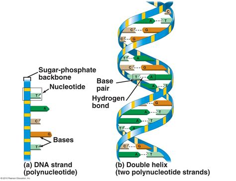 diagram and label a section of dna index of bio3 standard docs resources cbell chapter 03