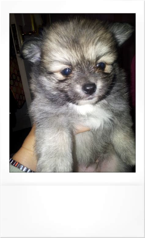 pomchi puppies for sale tiny pomchi puppies for sale blackpool lancashire pets4homes