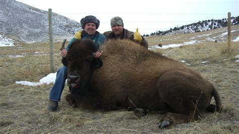 how to a to hunt the american bison