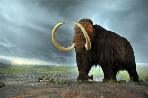 wooly mammoth ice age scientists say they could bring back woolly mammoths