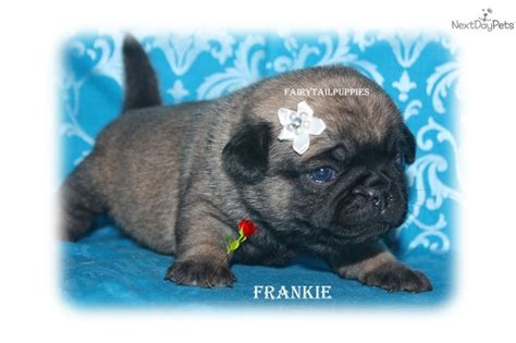 black pugs for sale near me 1000 ideas about baby pugs for sale on black pugs for sale pugs for