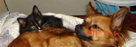chion pomeranian for sale papillon chihuahua breed info breeds picture