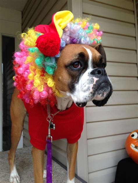 clown costume for dogs boxer clown costume clowns
