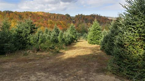 christmas tree farm at whitetop mountain virginia