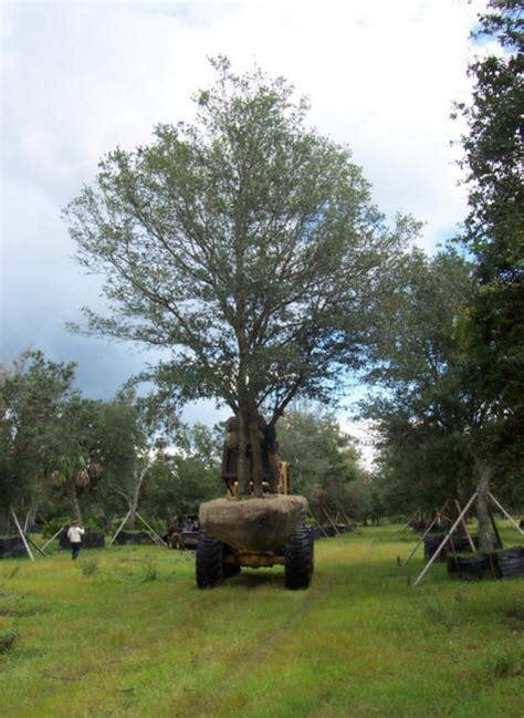live oak trees quercus virginiana live oaks south florida