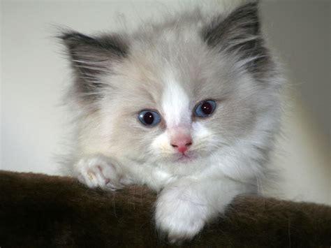 a ragdoll cat ragdoll cats