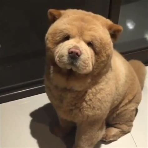 are dogs and bears related or credit chowderthebeardog dogs 9gag 9gagmobile exploregram