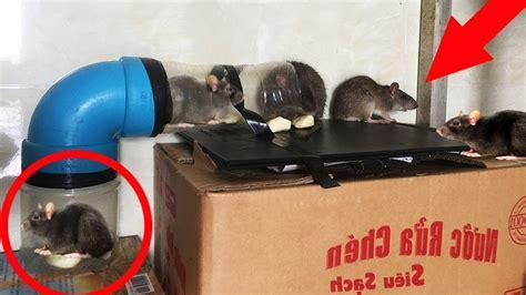 cara membuat perangkap tikus rumahan cerdas begini cara menangkap tikus rumahan youtube