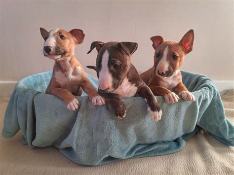 miniature bull terrier puppies miniature bull terrier puppies and dogs breeds picture