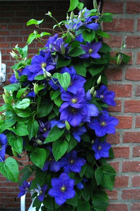 blue garden flower best 25 clematis ideas on clematis trellis