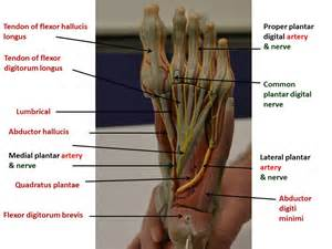 Planter Of Foot by Nerves Vasculature Of The Lower Limb Yed箘tepe Anatomy Lab