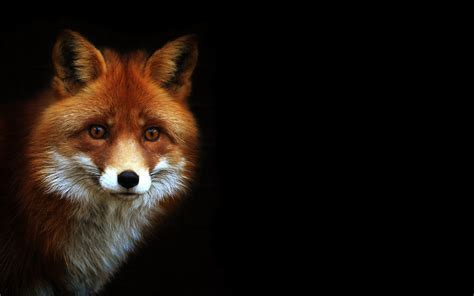 one fox for fox sakes