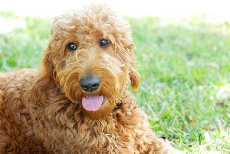 goldendoodle food breeds healthiest food for small breeds doodle