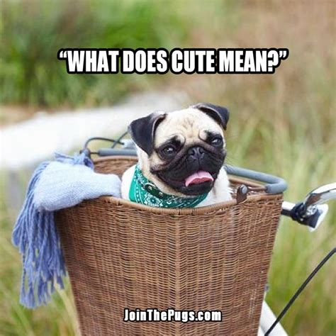 pug captions for instagram pug pictures with captions breeds picture