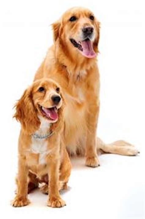 potty a golden retriever puppy puppy retrievers newspapa