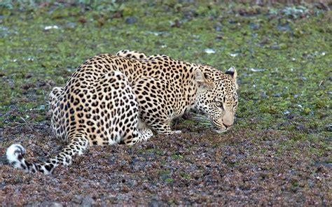 difference jaguar leopard l 233 opard gu 233 pard jaguar quelles diff 233 rences