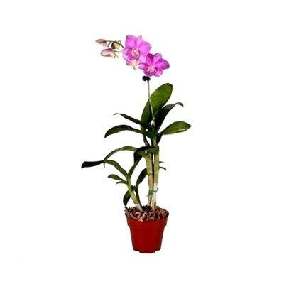 buy dendrobium orchid pegasus pink   cheap price