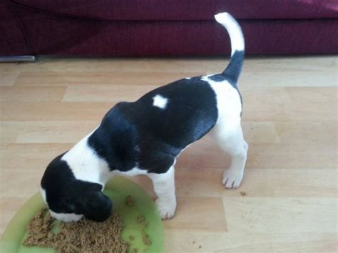 black and white beagle puppies beautiful beagle puppy stoke on trent staffordshire pets4homes
