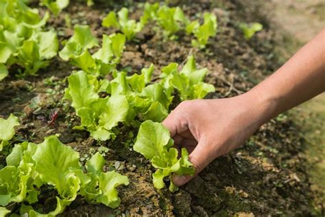 Lettuce Planter by How To Grow Lettuce The Right Way Gardener S Path