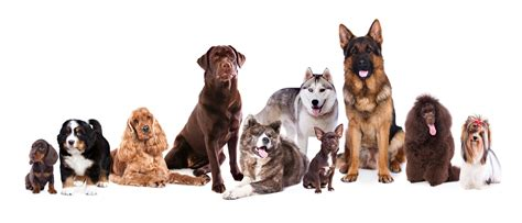 how to tell how big a puppy will be top 10 most popular breeds with pet parents in the uk