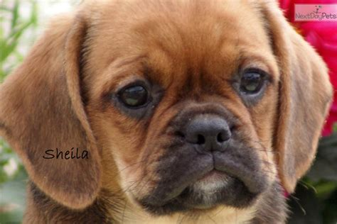 puggle puppies for sale mn puggle puppy for sale near minneapolis st paul minnesota 15cd8111 bb01